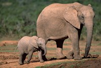 South Africa, Addo Elephant NP, Baby Elephant Fine-Art Print