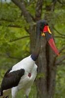 Saddle-billed Stork, Kruger NP, South Africa Fine-Art Print