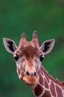 Reticulated Giraffe, Impala Ranch, Kenya Fine-Art Print