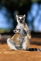 Ring-tailed Lemur primate, Berenty Reserve, Madagascar Fine-Art Print