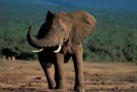 South Africa, Addo Elephant NP, Angry Bull Elephant Fine-Art Print