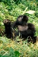 Rwanda, Six year old mountain Gorilla, March Fine-Art Print