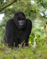 Rwanda, Kigoma, Mountain Gorilla, No 3 Silverback Fine-Art Print