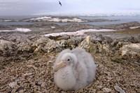 Southern giant petrel bird, Antarctic Peninsula Fine-Art Print