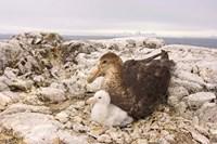 Southern giant petrel nest, Antarctic Peninsula Fine-Art Print