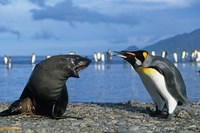 South Georgia, St Andrews Bay, King Penguins, Fur Seal Fine-Art Print