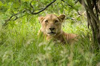 South African Lioness, Hluhulwe, South Africa Fine-Art Print