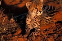 South Africa, Kalahari Desert. King Cheetah Fine-Art Print