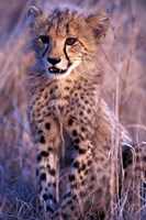 South Africa, Phinda Reserve. King Cheetah Fine-Art Print