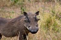 South Africa, KwaZulu Natal, warthog wildlife Fine-Art Print