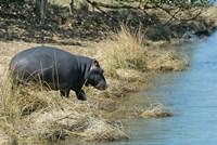 South Africa, KwaZulu Natal, Wetlands, hippo Fine-Art Print