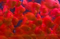 Swarms of gold fish, Shanghai, China Fine-Art Print