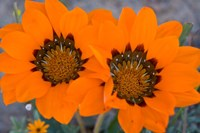 Two orange Spring flowers, South Africa Fine-Art Print