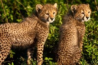 Tanzania, Ndutu, Ngorongoro, Cheetahs Fine-Art Print