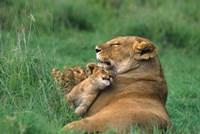 Tanzania, Ngorongoro Crater. African lion family Fine-Art Print