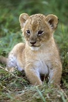 Tanzania, Serengeti National Park, African lion Fine-Art Print
