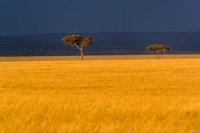 Tall grass, Umbrella Thorn Acacia, Masai Mara, Kenya Fine-Art Print