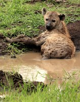 Spotted Hyaena, wildlife, Hluhulwe GR, South Africa Fine-Art Print