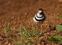 Threebanded Plover, Mkuze Game Reserve, South Africa Fine-Art Print