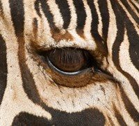 Tanzania, Tarangire National Park, Common zebra eye Fine-Art Print