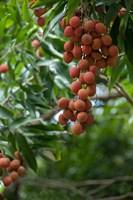 Tropical Litchi Fruit On Tree, Reunion Island, French Overseas Territory Fine-Art Print