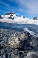 Weddell seal, beach, Western Antarctic Peninsula Fine-Art Print