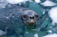 Weddell seal in the water, Western Antarctic Peninsula Fine-Art Print