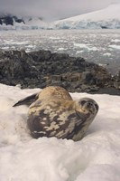 Weddell seal resting, western Antarctic Peninsula Fine-Art Print