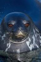 Close up of Weddell seal, Western Antarctic Peninsula Fine-Art Print