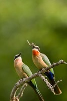 Pair of Whitefronted Bee-eater tropical birds, South Africa Fine-Art Print
