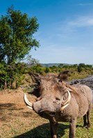 Warthog, Maasai Mara National Reserve, Kenya Fine-Art Print