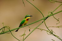 Tropical Bird, Little Bee Eater, Masai Mara GR, Kenya Fine-Art Print
