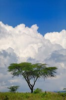 Umbrella Thorn Acacia, Lake Nakuru National Park, Kenya Fine-Art Print