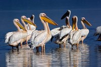Group of White Pelican birds in the water, Lake Nakuru, Kenya Fine-Art Print