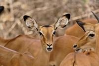 Wildlife, Female Impala, Samburu Game Reserve, Kenya Fine-Art Print