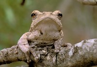 Tree Frog, Phinda Reserve, South Africa Fine-Art Print