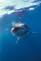 Underwater View of a Great White Shark, South Africa Fine-Art Print