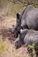 White Rhino in Zulu Nyala Game Reserve, Kwazulu Natal, South Africa Fine-Art Print