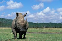 White Rhinoceros Feeding, Lake Nakuru National Park, Kenya Fine-Art Print
