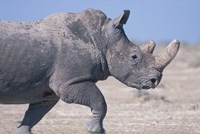 White Rhino Running, Etosha Salt Pan, Etosha National Park, Namibia Fine-Art Print