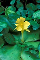 Yellow Flower in Bloom, Gombe National Park, Tanzania Fine-Art Print
