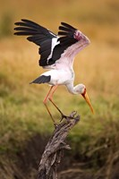 Yellow-Billed Stork Readying for Flight, Maasai Mara, Kenya Fine-Art Print