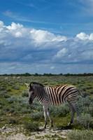 Young Burchells zebra, burchellii, Etosha NP, Namibia, Africa. Fine-Art Print