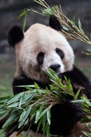 Asia, China Chongqing. Giant Panda bear, Chongqing Zoo. Fine-Art Print