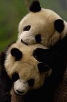 Pair of Giant panda bears Fine-Art Print