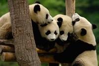 Four Giant panda bears Fine-Art Print
