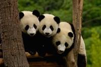 Three Giant panda bears Fine-Art Print