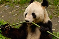 Giant Panda Eating Bamboo Fine-Art Print