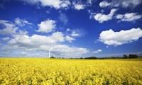 Wind turbine in a canola field against cloudy sky, Denmark Fine-Art Print