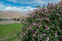 Pink roses at campsite near the Hemis Monastery, Ladakh, India Fine-Art Print